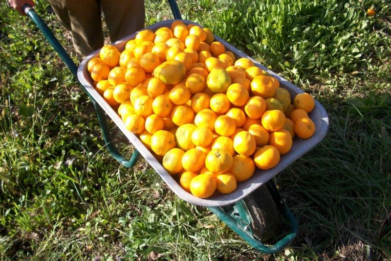 Karijola i mandarine