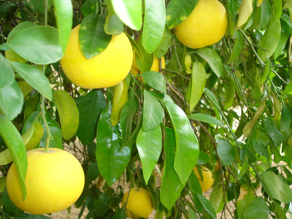 grapefruit-tree1
