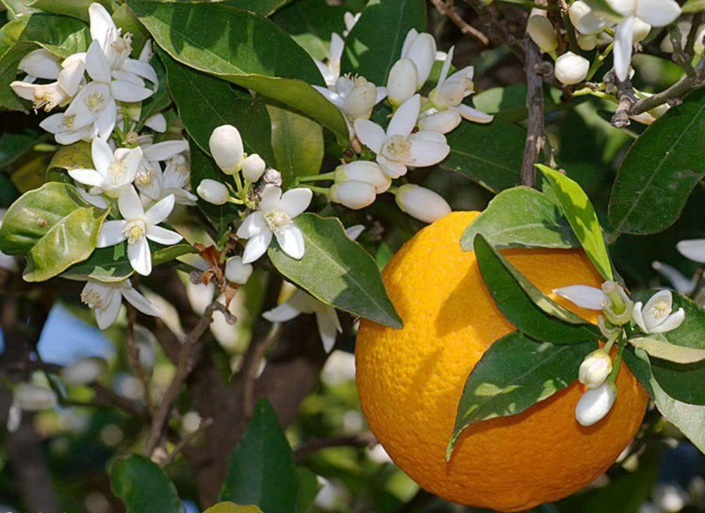 naranča2